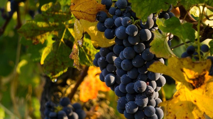 grapes-4290308_1280
